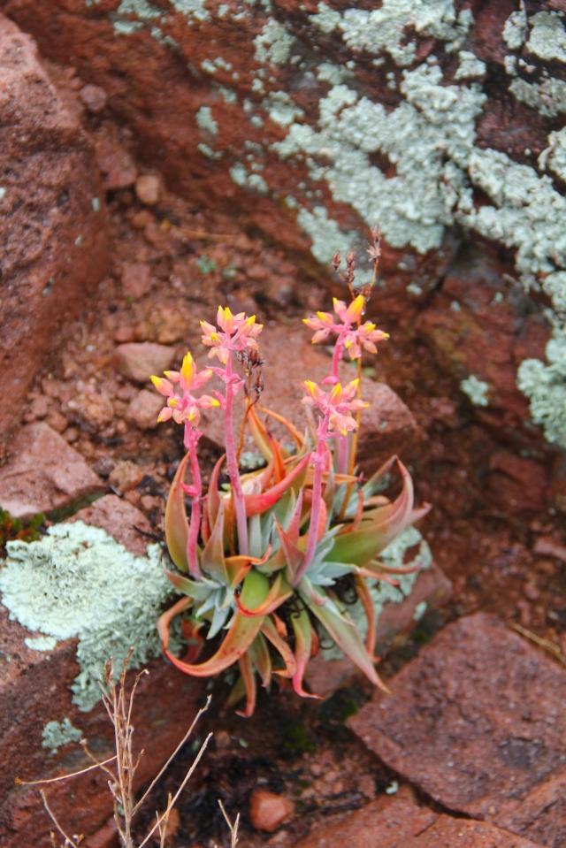 Bluff Spring Cactus 052