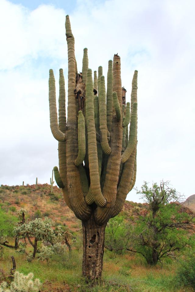 Bluff Spring Cactus 116