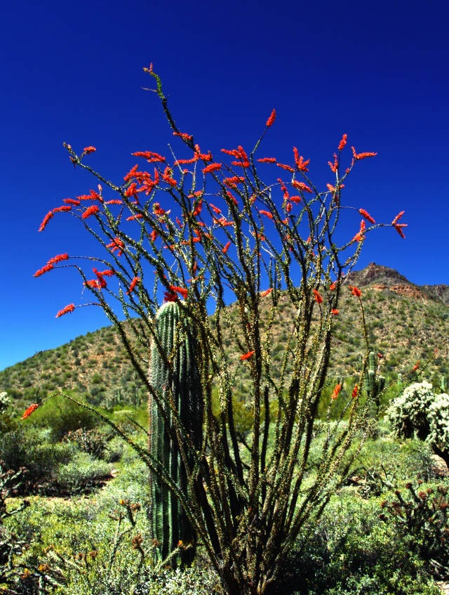 Ocotillo bloom at Meridian trailhead